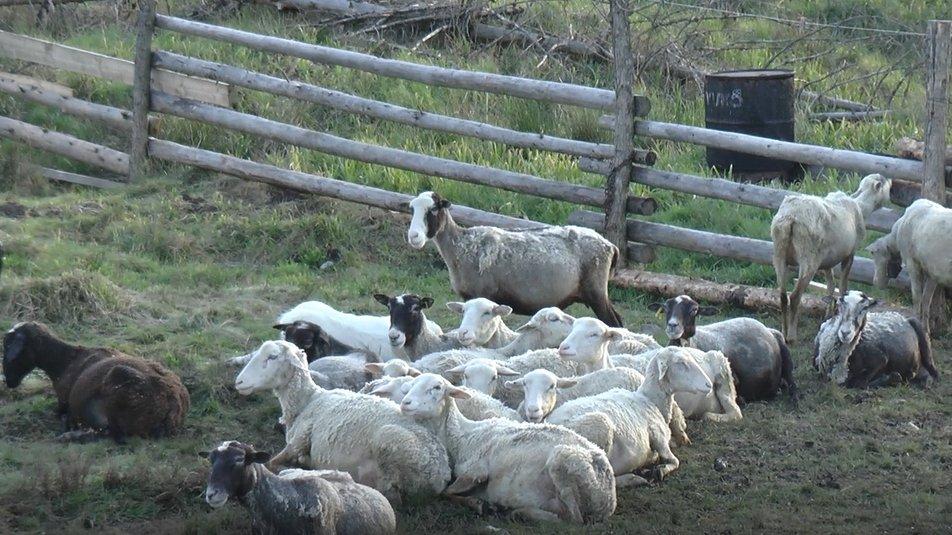 """300 овець та ягнят п'яти порід: на фермі """"Дубовий кут"""" хочуть вивести """"карпатську молочну"""" 1"""