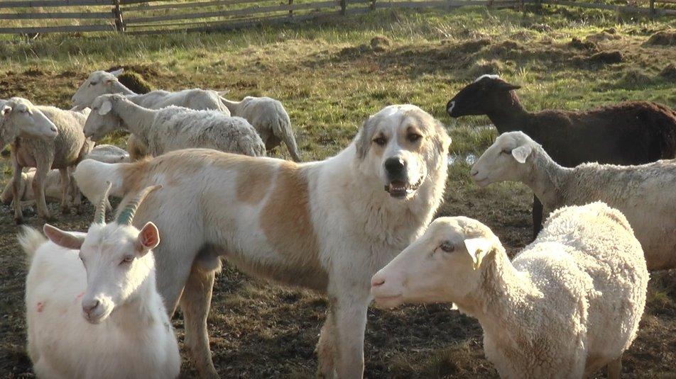 """300 овець та ягнят п'яти порід: на фермі """"Дубовий кут"""" хочуть вивести """"карпатську молочну"""" 4"""