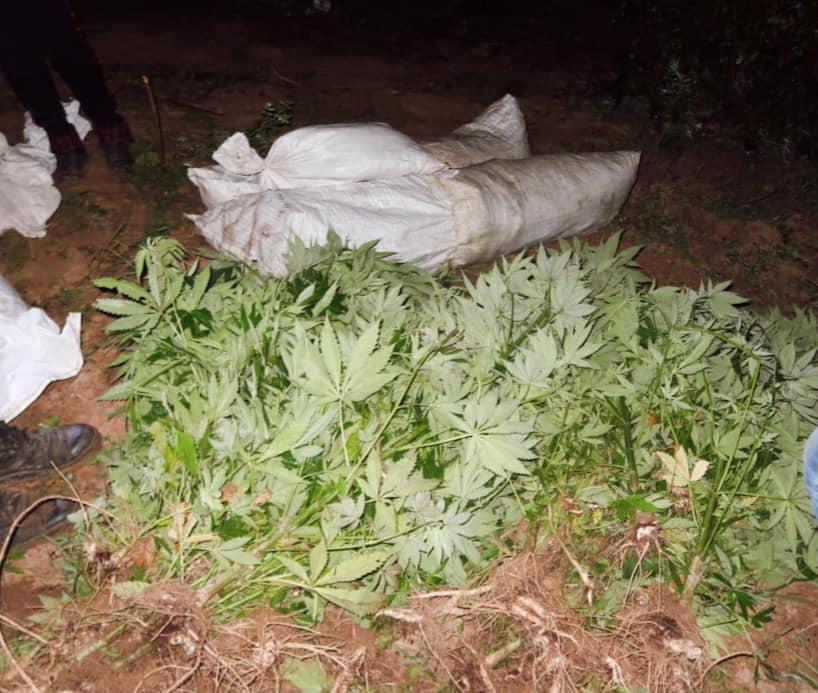 Полісмени спіймали прикарпатця, який вирощував плантацію коноплі у лісопосадці 1