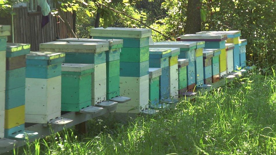 На Коломийщині збирають лавандовий мед 2