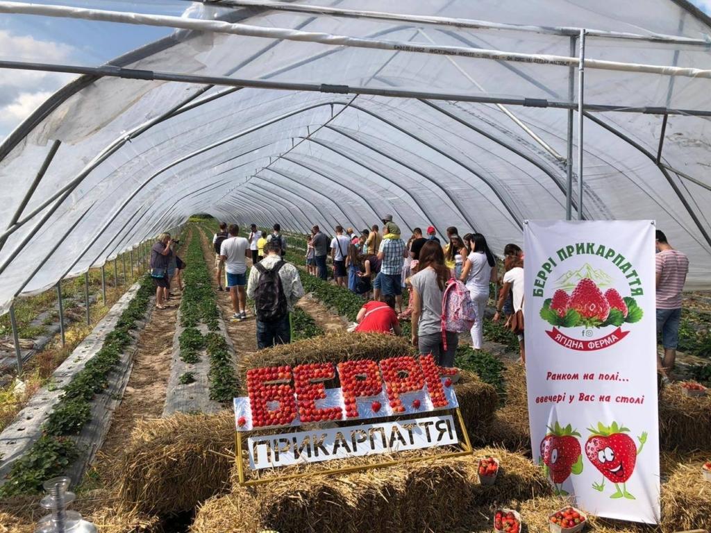 """Прикарпатський фермер влаштував фестиваль серпневої """"Полуниці на відкритому полі"""" 6"""