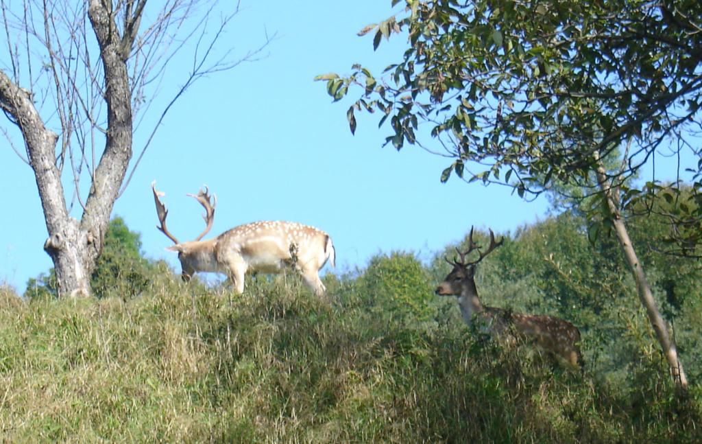 У приватногму обійсті на Косівщині прижилися олені і лані 1