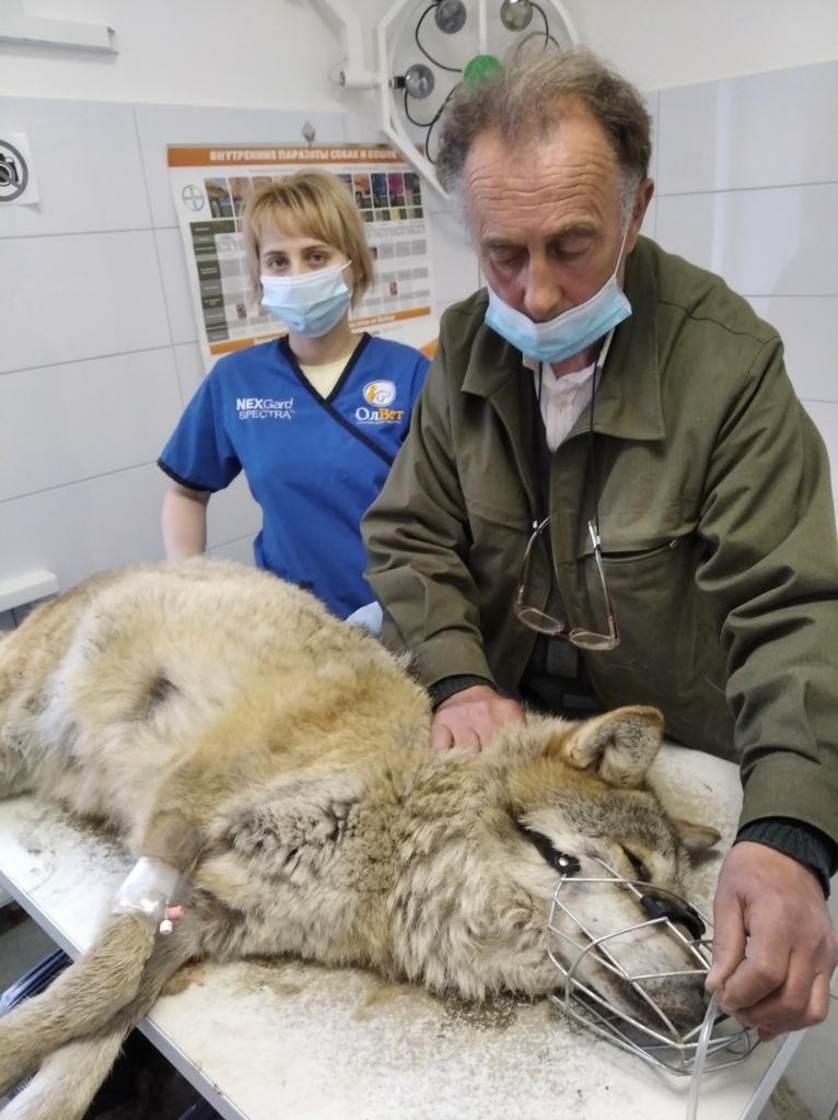У Франківську ветеринари рятували важко хвору вовчицю Петру 1