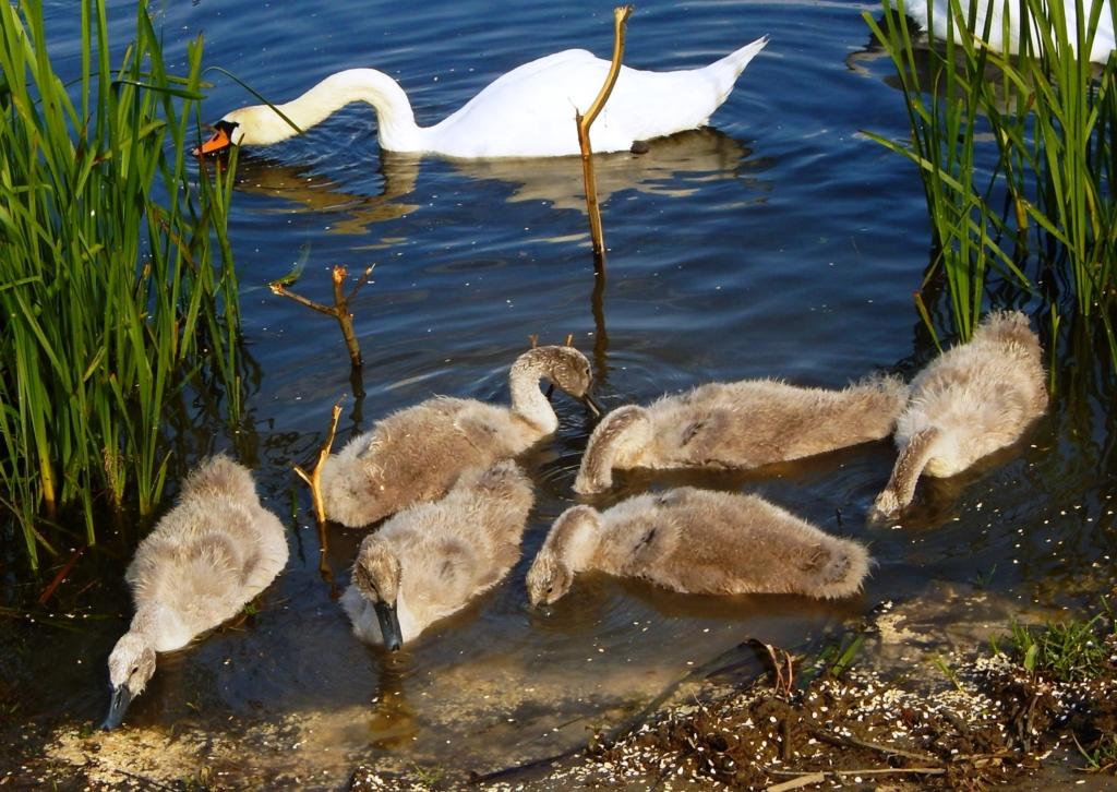 На Німецькому озері гинуть та зникають лебедята - франківців просять допомогти 3