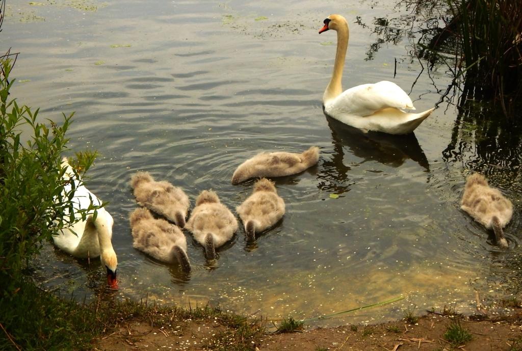 На Німецькому озері гинуть та зникають лебедята - франківців просять допомогти 2